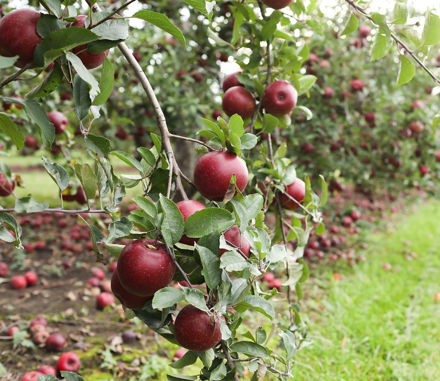 apples upick at Lynds